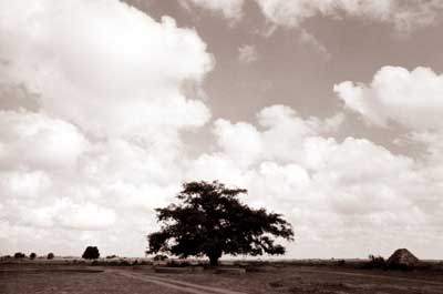 Banyano Auroville solitario
